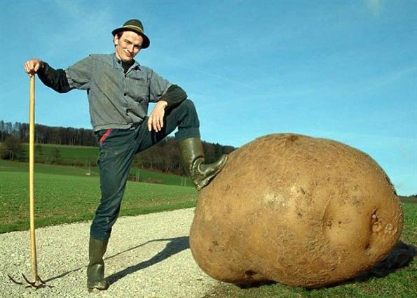 Huge potato
